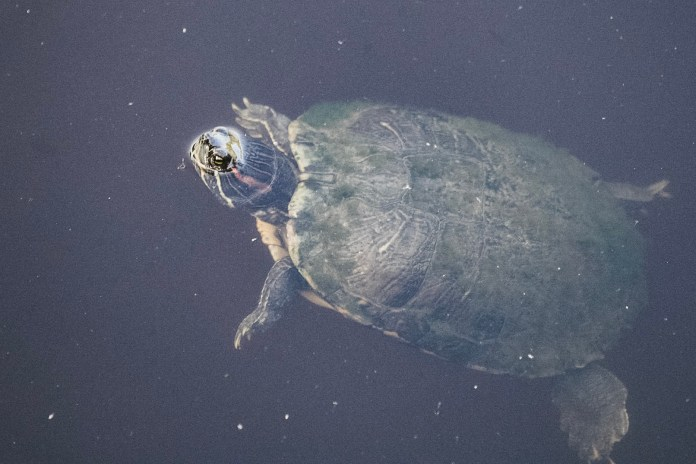 Turtle in alligator lake on Dauphin Island