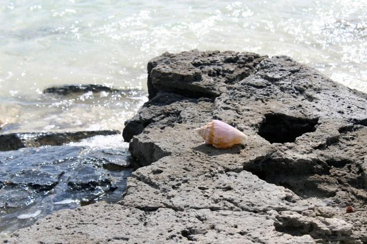 A whelk shell washed ashore on Cat Island Bahamas