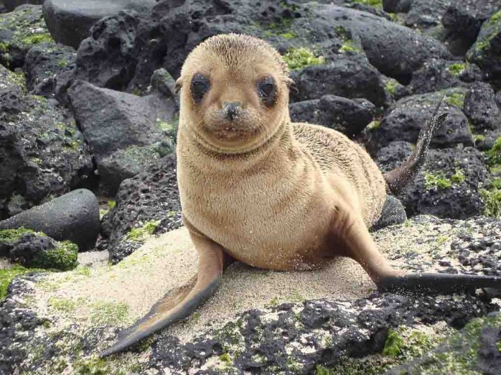 A brown seal on sand and volcanic rock
