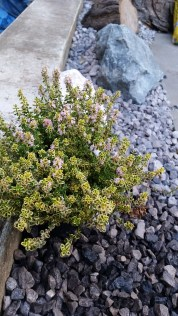 little rock garden with thyme