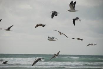 oiseaux en Baie d'Audierne - DSC_0333