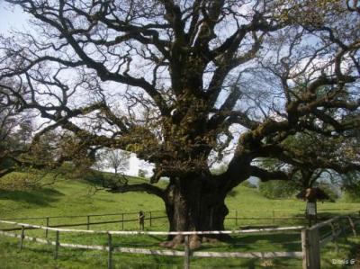 le chêne des Bosses, Châtillon (Suisse)