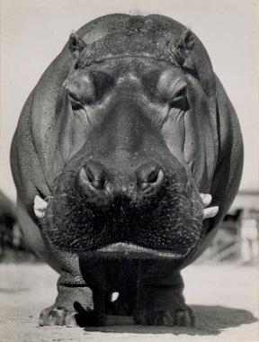 Bob Wallace - Lotus fore, vers 1937 (George Eastman House Collection)