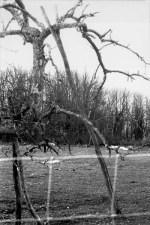 Vieux pommier aux branches soutenues par des étais fourchus (région de Gourdon).