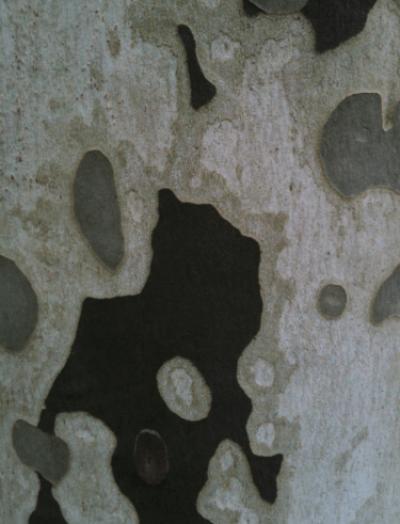 ocelles de platane.png