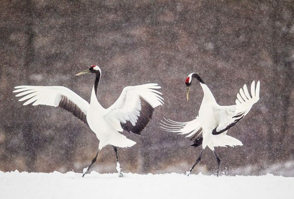 animal-facts-red-crowned-crane.jpg