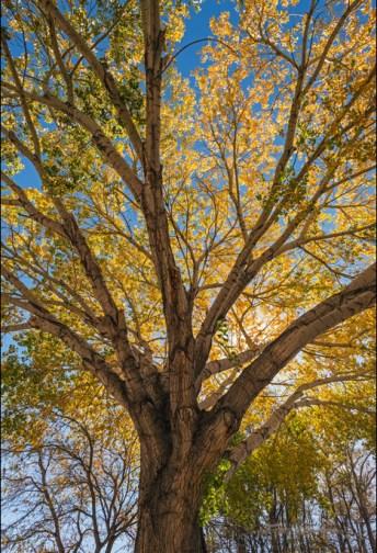 Image: Backlit Cottonwood tree in fall, Big Pine, Inyo County, Eastern Sierra, California
