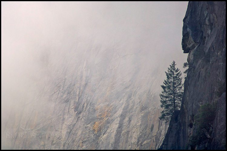 http://enlightphoto.com/photo-info/vly22096-tree-growing-from-cliff-yosemite-photo.html