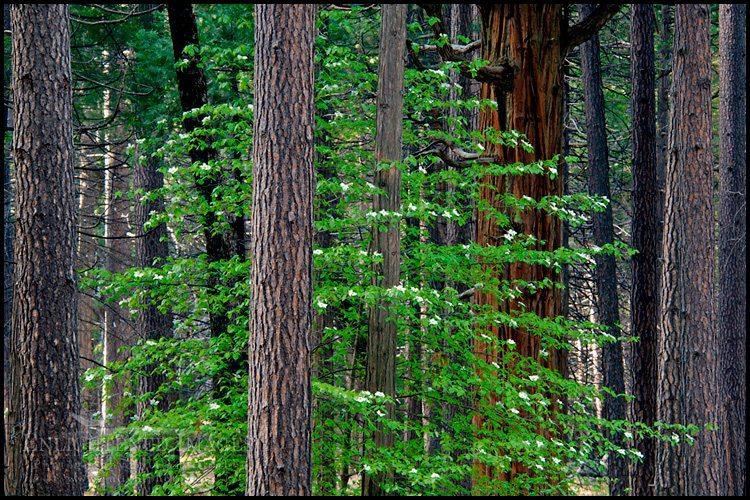 http://enlightphoto.com/photo-info/vly22127-dogwood-tree-forest-photo.html