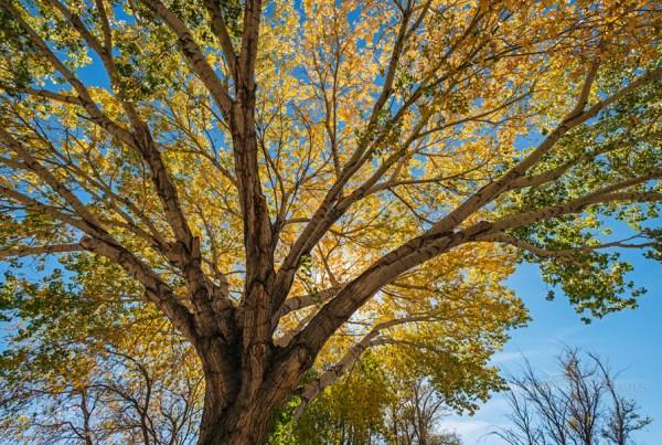 Photo: Backlit Cottonwood tree in fall, Big Pine, Inyo County, Eastern Sierra, California