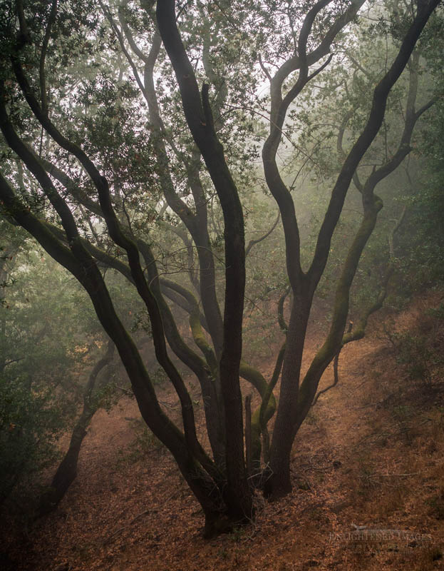 Photo: Tree in foggy woods, Briones Regional Park, Contra Costa County, California