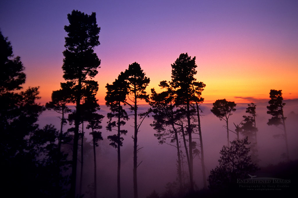 Photo: Trees and fog at sunset from the Berkeley Hills, California