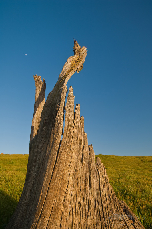Photo: Broken jagged tree stump and moon, Sunol Regional Wilderness, Alameda County, California