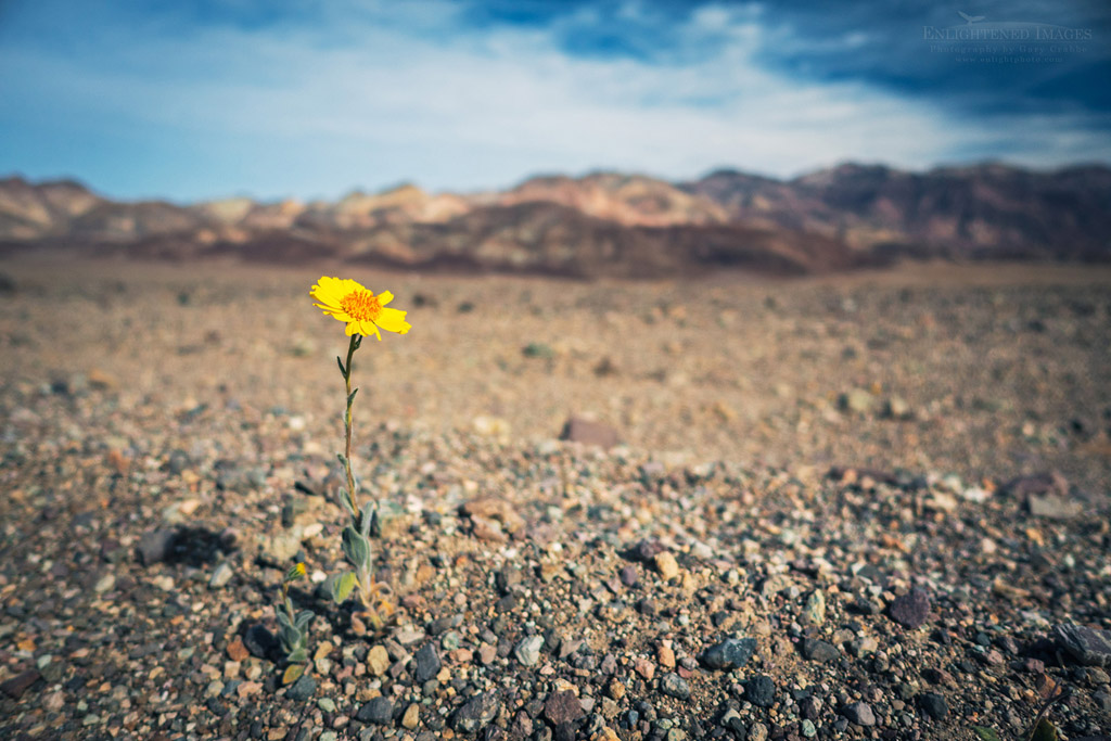 Photo: Wildflower during the 2016 Superbloom, Death Valley National Park, California
