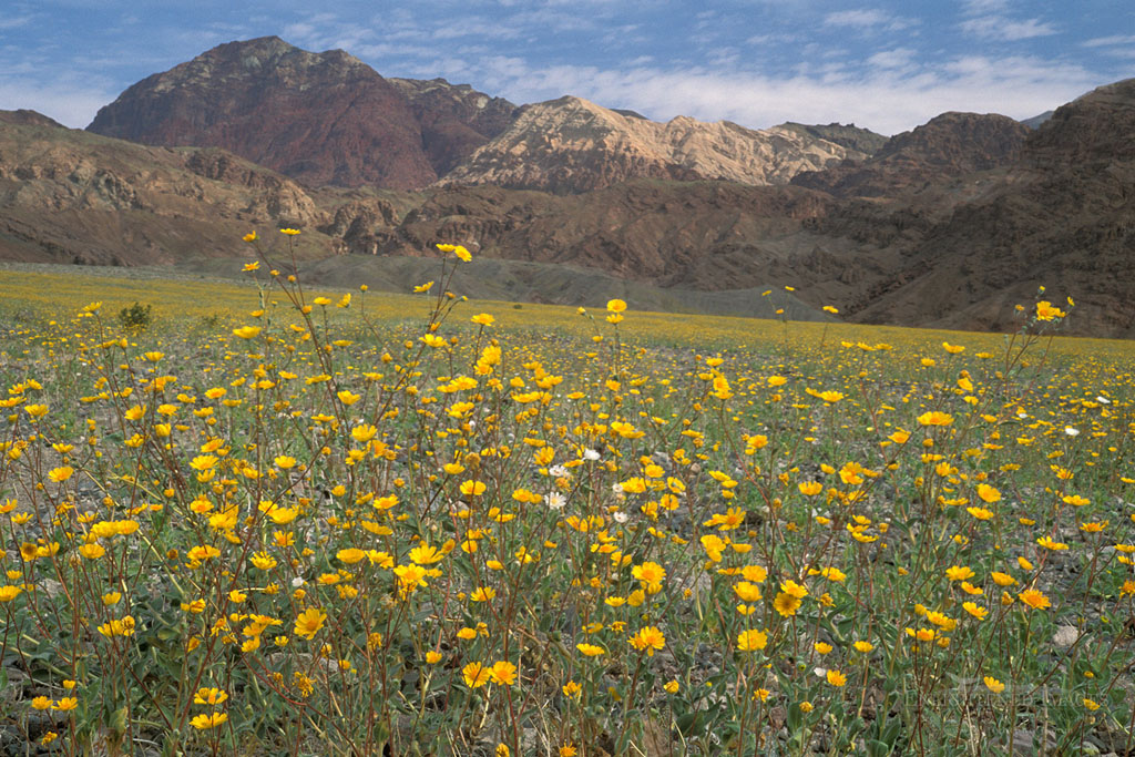 Photo: Desert Gold sunflower wildflowers Geraea Canescens record spring bloom below Black Mountains, Death Valley, California