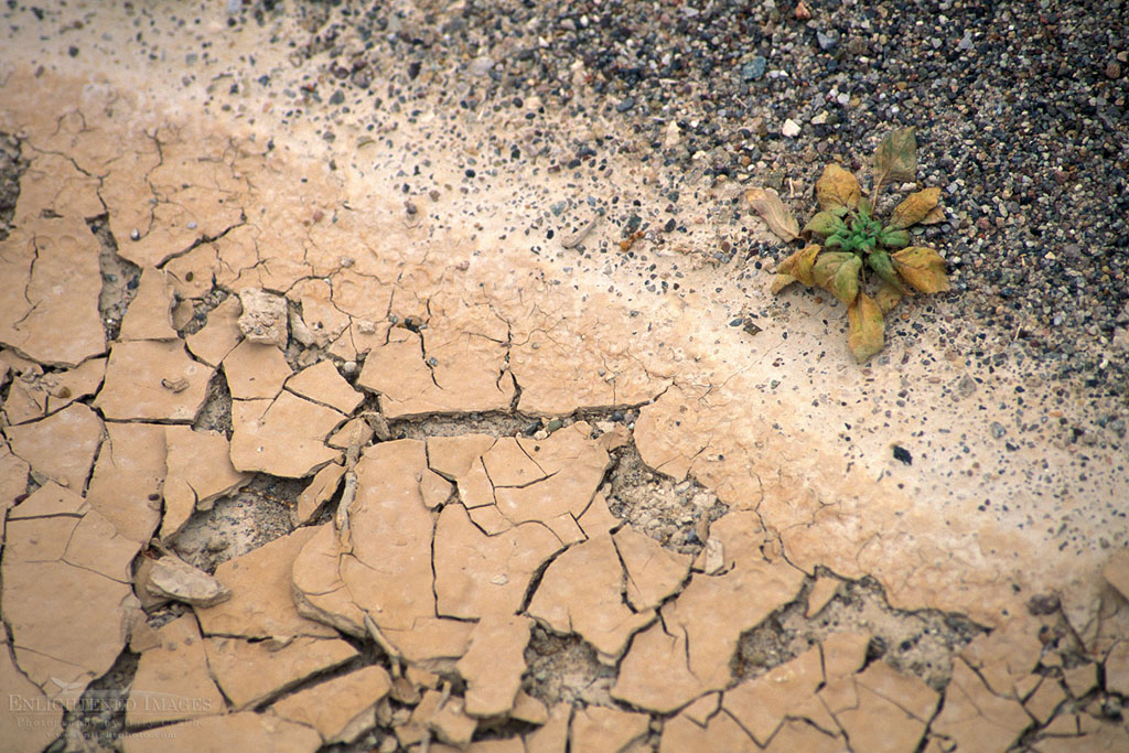 Photo: Plant on the edge of survival next to dry stream bed, Salt Creek, Death Valley National Park, California