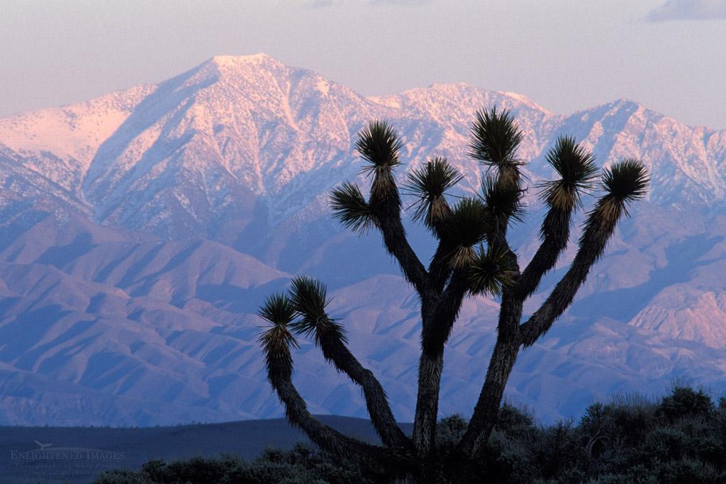 Photo: Sunset light on Telescope Peak and Joshua Tree, Lee Flat, Death Valley National Park, California