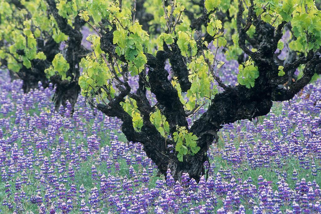 Photo: Grape vine and bluebonnets in spring, near Ukiah, Mendocino County, California
