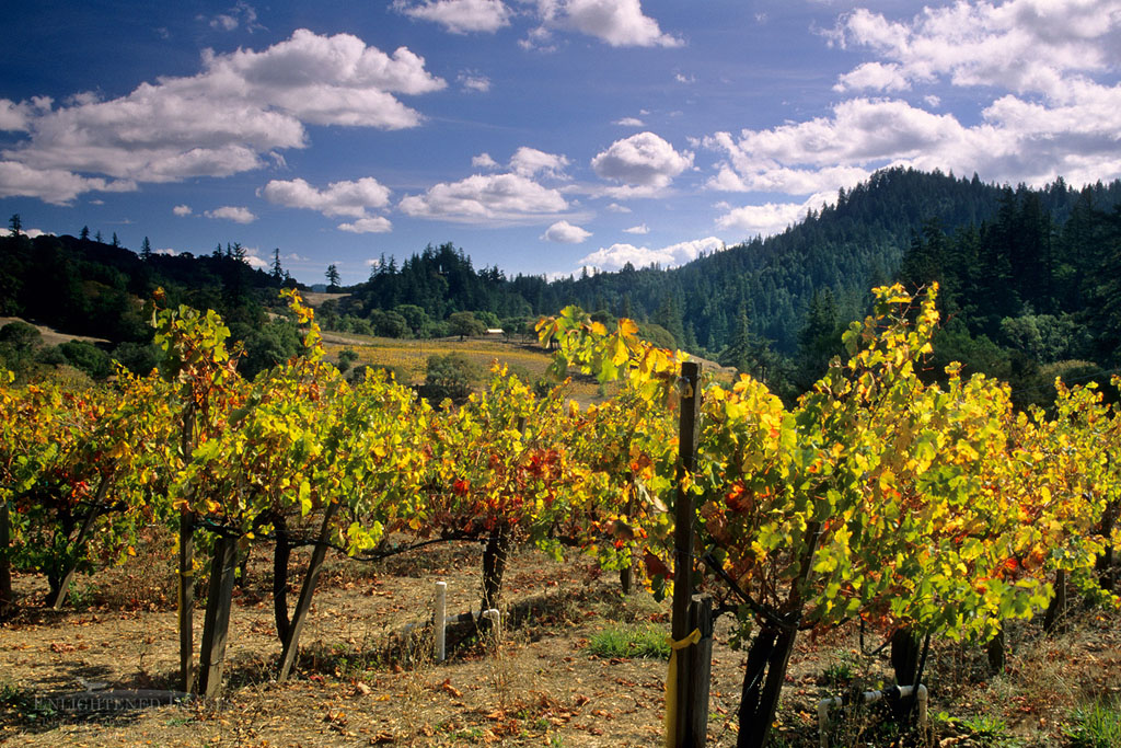 Photo: Vineyards in fall, Maple Creek Winery, Yorkville, Mendocino County, California