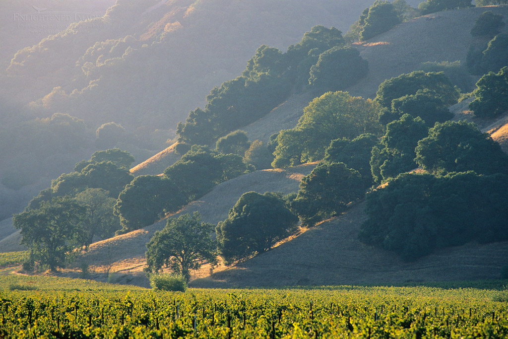 Photo: Sunset light on vineyards and oak trees on hills, between Hopland and Ukiah, Mendocino County, California