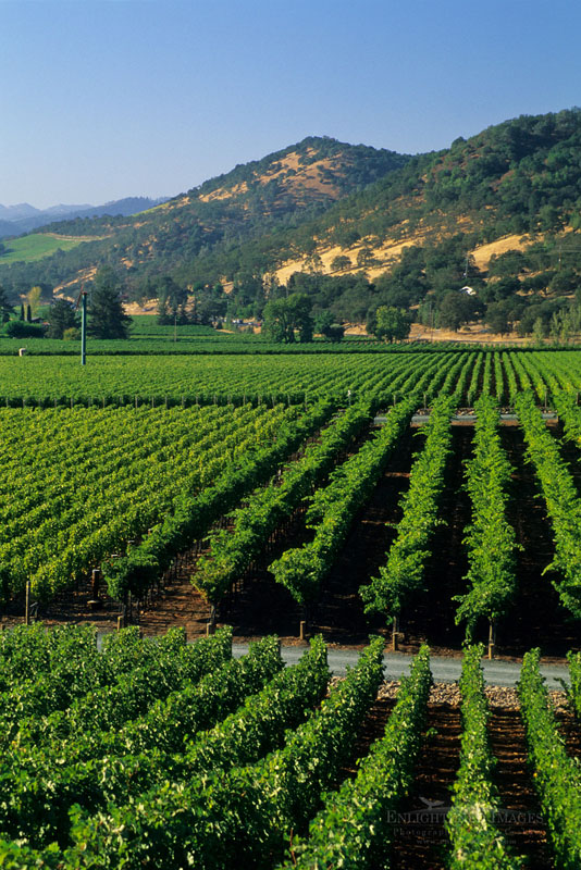 Photo: Rows of grapevines in Vineyards in near Oakville, Napa Valley, Napa County, California