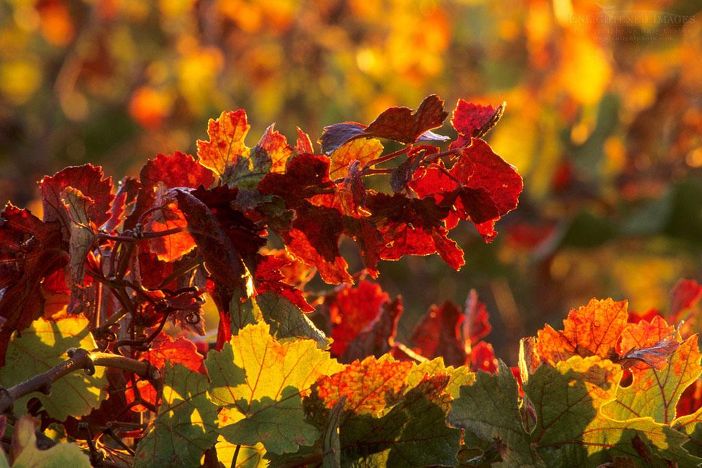 Photo: Vineyards in fall, Carneros Region, Napa Valley, Napa County, California