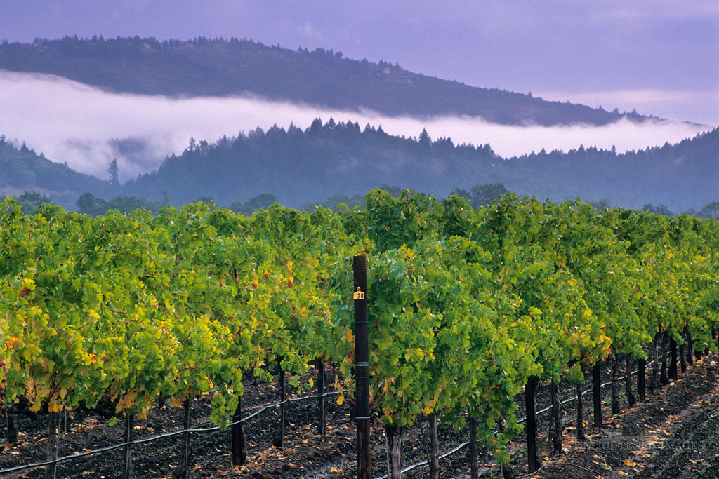 Photo: Fog and storm clouds over vineyards between St. Helena & Calistoga, Napa County, California