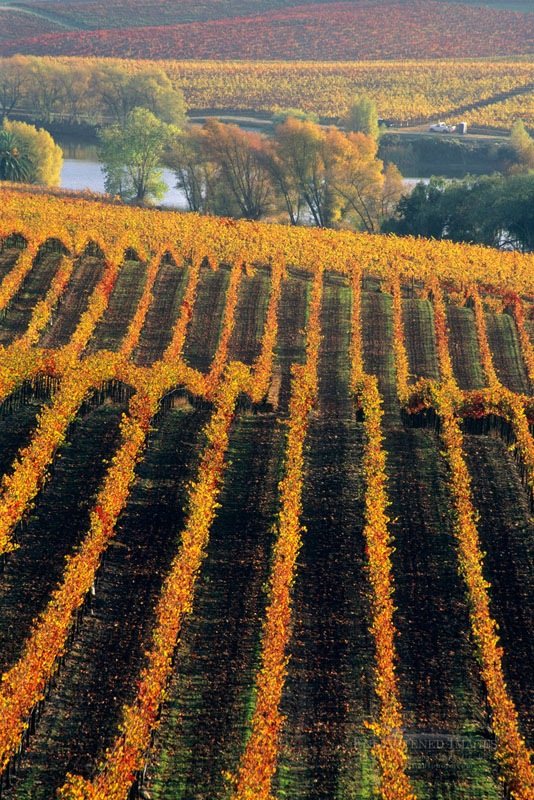 Photo: Rows of grapevines in Vineyard in fall at Artesa Winery, Carneros Region, Napa County, California
