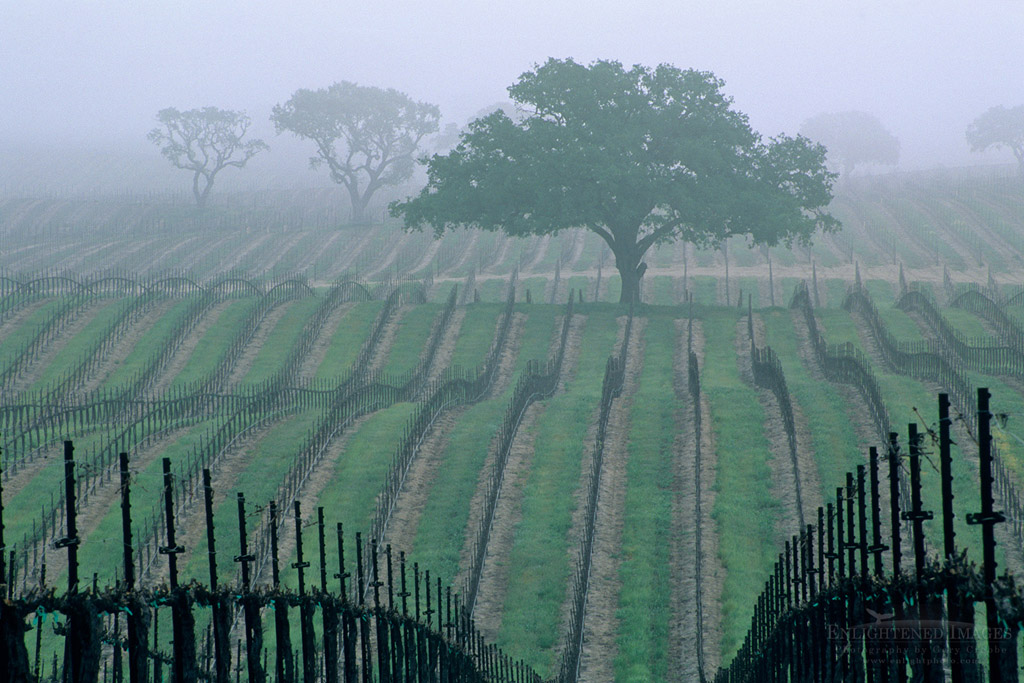 Photo: Morning fog over vineyard rows and oak tree in spring, Union Road, Paso Robles San Luis Obispo County, California