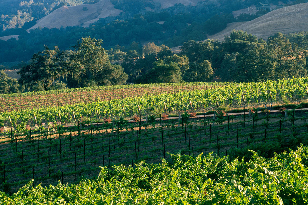 Photo: Vineyards, oak trees, and hills in summer, Knights Valley, Sonoma County, California