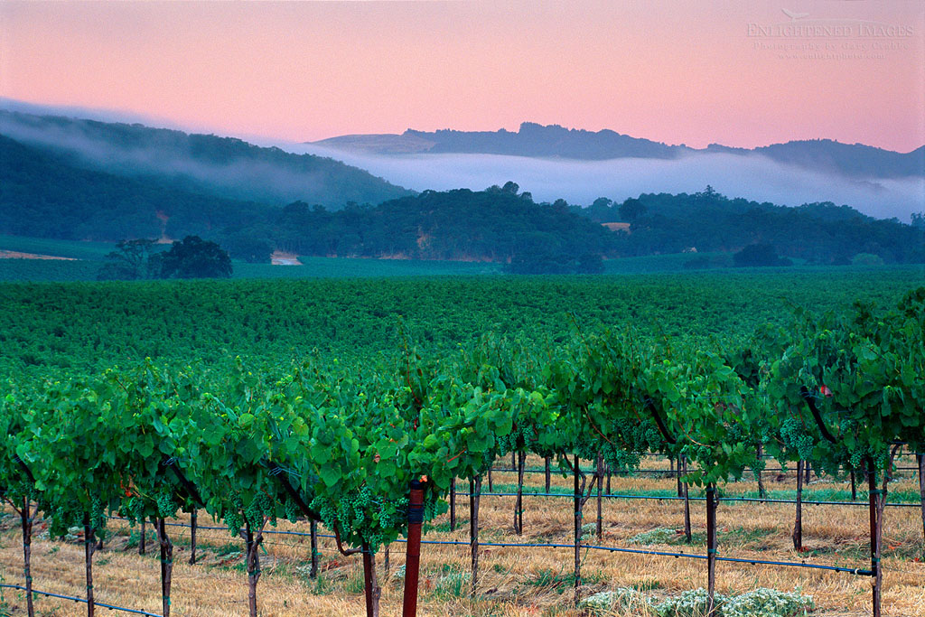 Photo: Morning fog over vineyards in the Alexander Valley, near Asti, Sonoma County, California