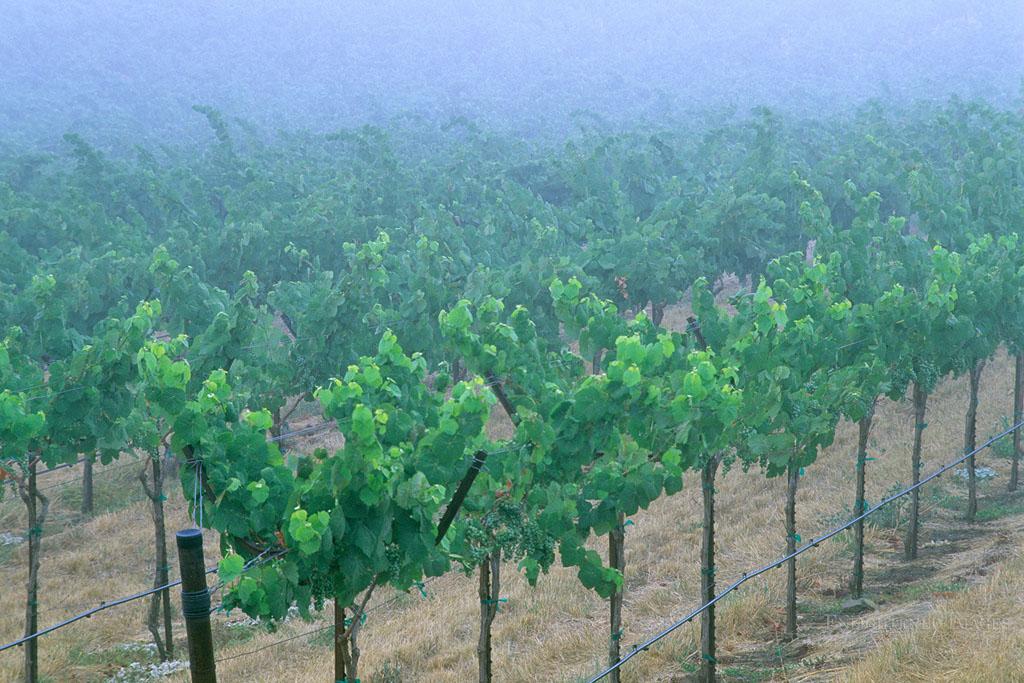 Photo: Morning fog over vineyards in the Alexander Valley, near Asti, Sonoma County, California
