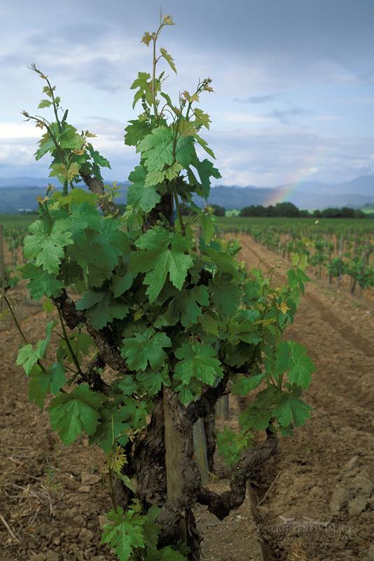 Photo: Grapevine and rainbow over vineyard in spring near Healdsburg, Alexander Valley, Sonoma County, California