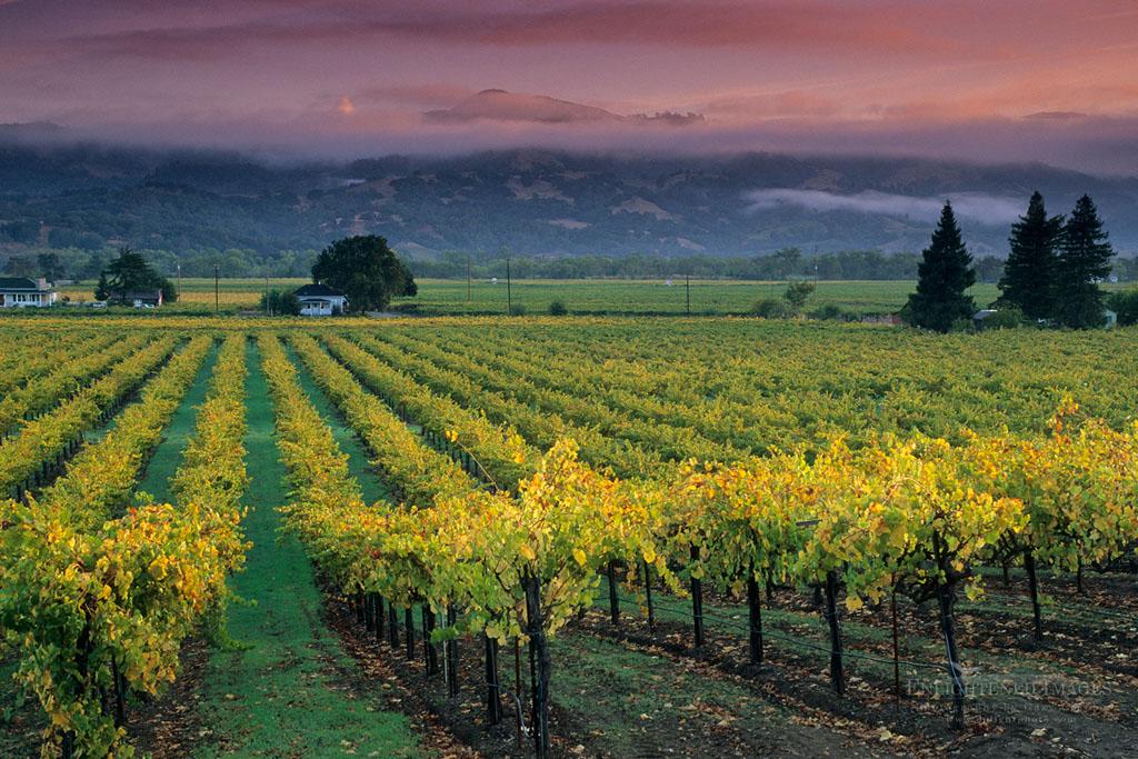 Photo: Sunrise light on vineyards, Geyserville, Alexander Valley, Sonoma County, California