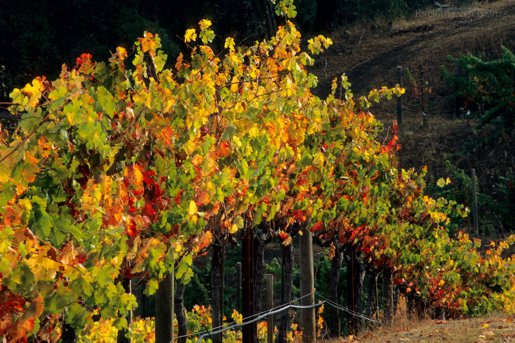 Photo: Grapevines in autumn at Hanna Vineyards, Alexander Valley, Sonoma County, California