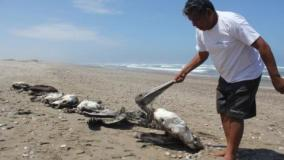 Preocupan más hallazgos de pelícanos muertos