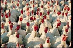 La exportación de pavos creció pero sus precios no satisfacen a los proveedores nacionales