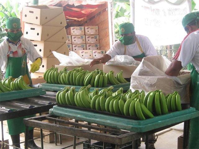 Asociación piurana negocia con un importador asiático la exportación de un contenedor semanal de banano orgánico.