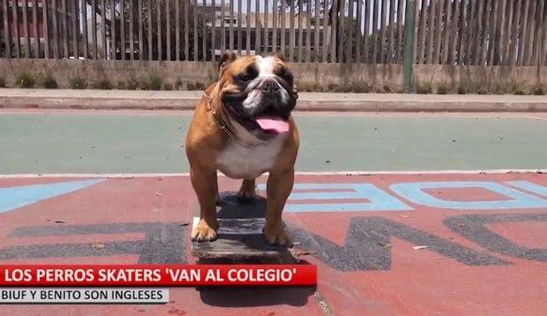 (Video) 'Benito' y 'Biuf', los perros skaters peruanos que la rompen