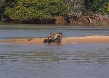 Video de jaguar que se come a cocodrilo es viral en Youtube
