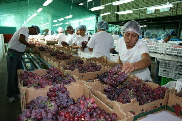Las uvas frescas fueron el principal producto lambayecano exportado al continente asiático.