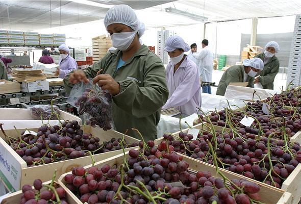 China es el principal destino de la uva peruana.