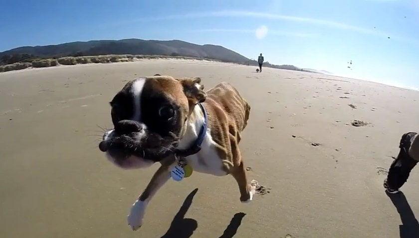 [VIDEO] Duncan, el perrito de dos patas que corre feliz en la playa