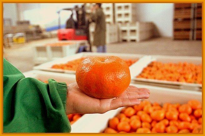 Luego de la prueba realizada con éxito por el Senasa, la mandarina peruana podría llegar pronto al mercado japonés.