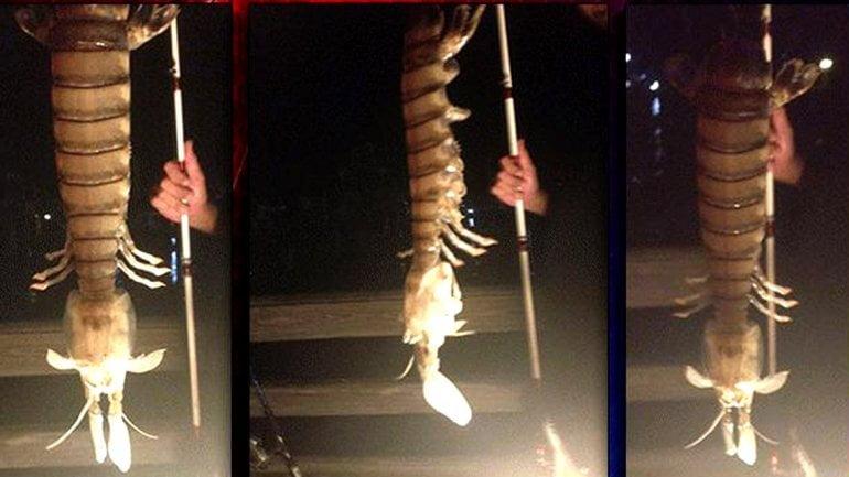 [FOTOS] Impactante: Un camarón gigante aparece en la Florida