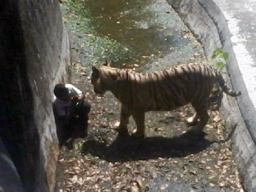 [VIDEO] Impactante: Tigre mata a joven que ingresó a zoo de la India