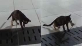 [VIDEO] Mira este gato y su estrategia profesional para cazar ratones