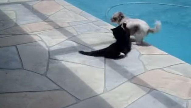 YouTube: Gato molesto empuja a perro a la piscina