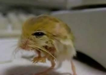 Impactante: animal mezcla de pollo, ratón y canguro es real