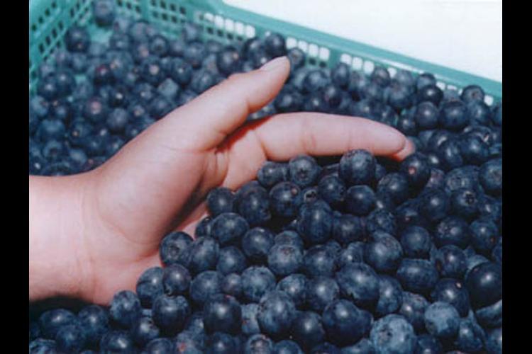 Los empresarios peruanos tienen la oportunidad de exportar arándanos azules a Taiwán.